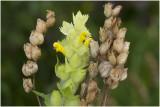 grote Ratelaar - Rhinanthus angustifolius