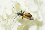 zwarttip Smalboktor - Paracorymbia fulva