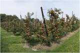 Laagstam appelboomgaard