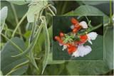 roodbloeiende Pronkboon