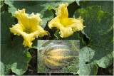 Pompoen - Cucurbita ficifolia