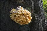 Zwavelzwam - Laetiporus sulphureus