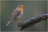 Roodborst - Erithacus rubecula