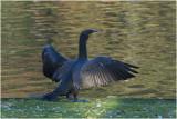 GALLERY Aalscholver - Great Cormorant