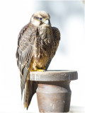 Sakervalk - Falco cherrug