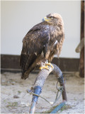 Steppearend - Aquila nipalensis