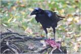 Raaf - Corvus corax