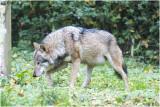 Grijze Wolf - Canis lupus