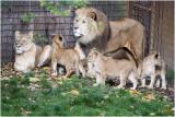 Leeuw - Panthera leo