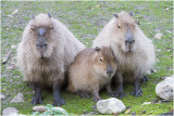 Capibara - Hydrochaeris hydrochaeris