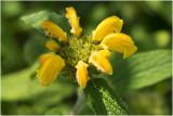 Brandkruid - Phlomis russeliana