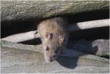 GALLERY bruine rat - Rattus norvegicus - brown Rat