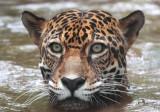 Jaguar VII.jpg