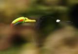 Keel-billed Toucan flying.jpg