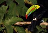 Keel-billed Toucan XVII.jpg