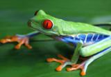 Red-eyed Tree Frog copy.jpg