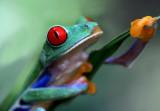 Red-eyed Tree Frog III copy.jpg