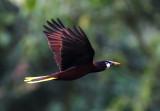 Montezuma Oropendola in flight copy.jpg