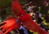 Scarlet MaCaw - Corcavado NP VI copy.jpg