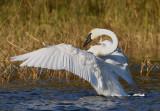 Swans of Minnesota