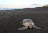 Olive Ridley smoothing over nest copy.jpg