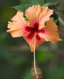 Hibiscus flower copy.jpg