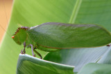 Large noisy Horned Katydid.jpg