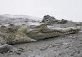 Croc upper Tarcoles  Carara NP.jpg