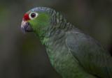 Red - lored Parrot by pool II.jpg