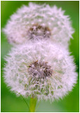 twin dandelions