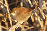 Passeriformes III (Sylvidae, corvidae, passeridae, fringillidae)