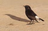 Black wheatear