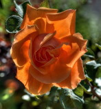 Backlit rose