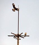 YELLOW-HEADED CARACARA EYEING A  BLACK HAWK-EAGLE