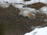 Leucistic squirrel