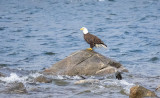 Eagle at Quabbin Reservoir