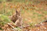 Lynx avec son petit