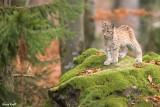Jeune lynx