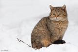 Jeune chat forestier
