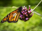 Papillon monarch marqué pour Monarch Wath_Monarch butterfly tagged for Monarch Watch