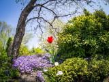 Tulipe solitaire_Lonely tulip