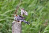 A fight in between Cuckoo birds and blackcap