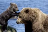 Silver Salmon Creek Alaska - Coastal Bears