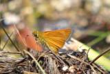 skipper_butterflies_of_illinois