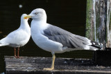 gulls_terns_skimmers_and_alcids