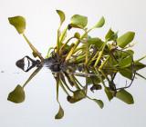 Rorschach Water Hyacinth