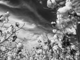 Look Up To Cotton