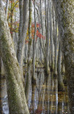 Gallery - The Cypress Swamp on the Natchez Trace