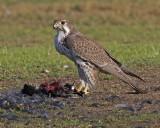 Prairie Falcons    (Falco mexicanus)