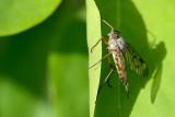 The downlooker snipefly, Rhagio scolopaceus, Almindelig sneppeflue 01